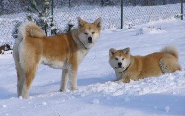 psy akita japonska zima